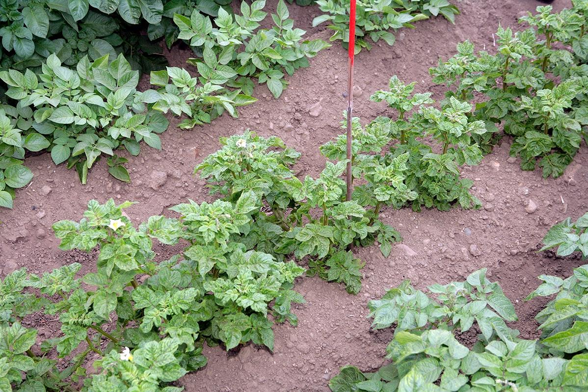 Effecten van variabele plantafstand bij pootaardappelen